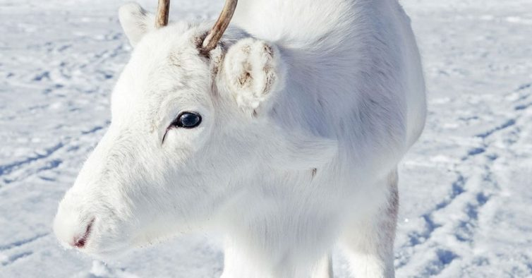 rena branca