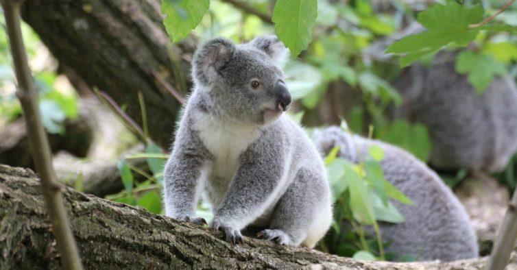 É chocante: mais de dois mil coalas morreram nos incêndios da Austrália