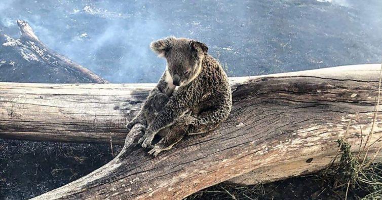 Mercantina adotou um coala e quer juntar dinheiro para ajudar a Austrália