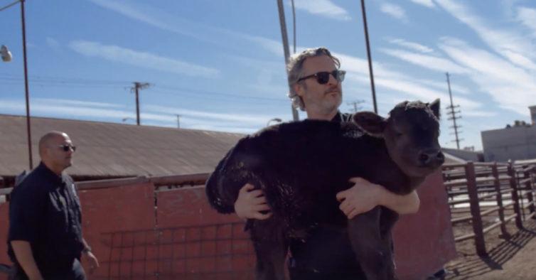 Joaquin Phoenix salva vaca e bezerro de um matadouro
