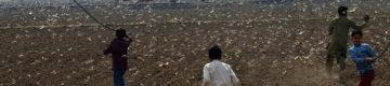 Paquistão recebe 100 mil patos para combater a praga de gafanhotos