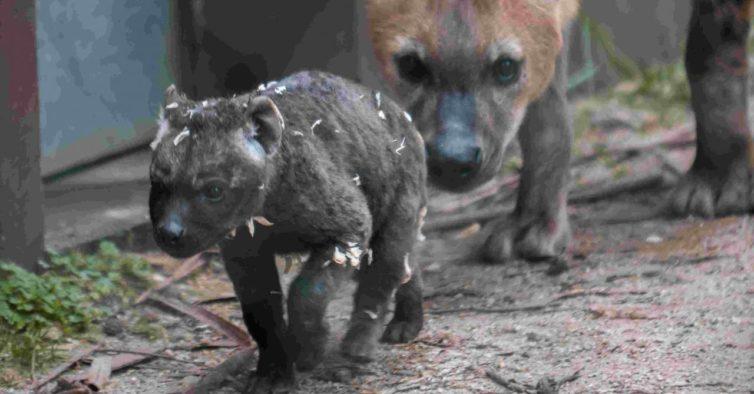 Nasceu uma hiena malhada no Zoo do Porto (e é rara no País)