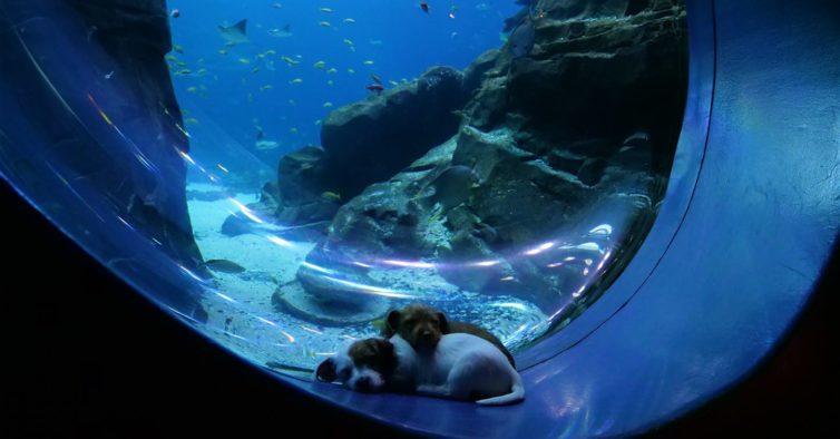 Vídeo mais fofinho do dia: dois cães numa visita a um oceanário sem visitantes