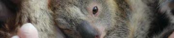 Ash: o primeiro coala a nascer depois dos grandes incêndios da Austrália