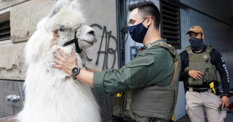 Caesar, o lama que traz calma aos protestos anti-racismo de Portland